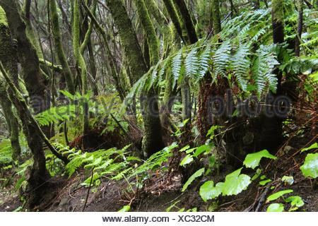 tree heath (Erica arborea), forest with tree heath, Myrica faya and ferns, Canary Islands, La Palma - Stock Photo