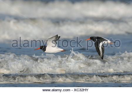 Oystercatcher Haematopus ostralegus - Stock Photo