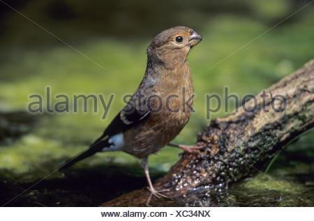 Bullfinch fledgling drinks water at a wet spot - Stock Photo