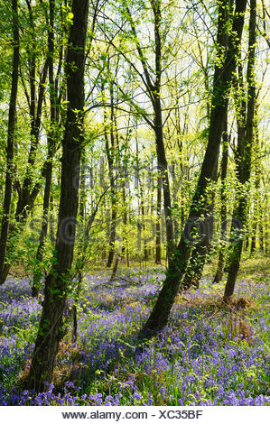 Atlantic bluebell (Hyacinthoides non-scripta, Endymion non-scriptus, Scilla non-scripta), blooming in a spring wood, Germany, North Rhine-Westphalia - Stock Photo