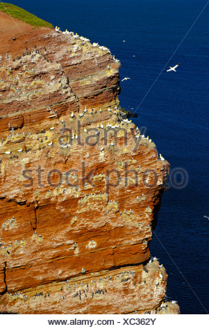 Bird rock with Breeding Colony Gannets Common Guillemots Nothern Fulmars Black-legged Kittiwake Heligoland Schleswig-Holstein - Stock Photo