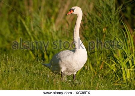 Mute Swan (Cygnus olor), adult, Thuringia, Germany - Stock Photo