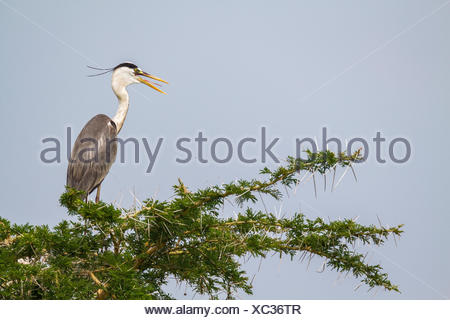A grey heron, Ardea cinerea, perched in the top of a tree. - Stock Photo