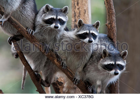 Northern raccoon (Procyon lotor), group standing on branch, captive. - Stock Photo
