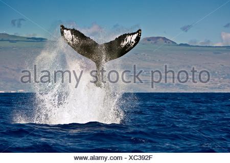 Humpback Whale, Megaptera novaeangliae, Pacific, Tonga - Stock Photo