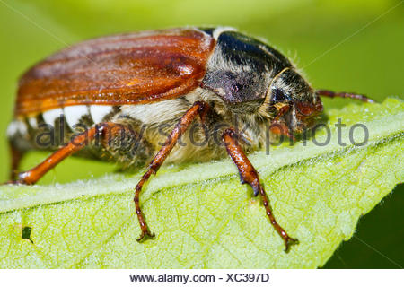 common cockchafer, maybug (Melolontha melolontha), rests on a leaf, Germany