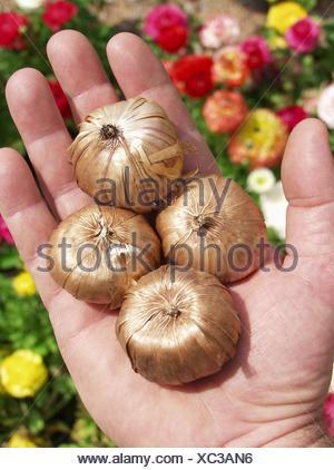 Gladiolus bulbs - Stock Photo