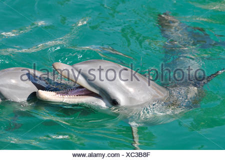 Bottlenose Dolphin Smiling - Stock Photo