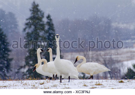 Swans feeding on snow covered grasses near Enderby in the Shuswap region of British Columbia, Canada - Stock Photo