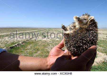 A man holds a long eared hedgehog (Hemiechinus auritus)  found along a road in Gurian District, Herat Province, during a wildlif - Stock Photo