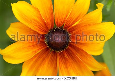 Rudbeckia fulgida - Stock Photo