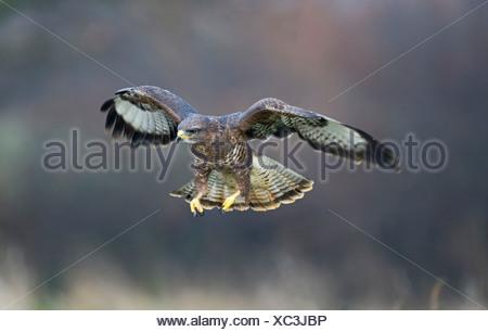 Common Buzzard Buteo buteo Glos UK winter - Stock Photo