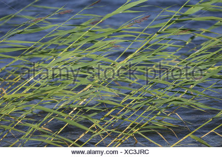 Reed, water, wind, lake, Finland, Rantasalmi, NP Linnansaari, - Stock Photo