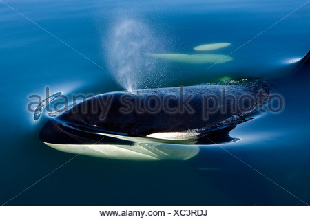 Orca Whale surfaces in Lynn Canal, Inside Passage, Alaska - Stock Photo
