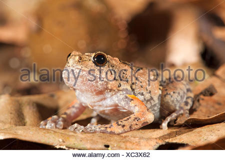 Photo of a tree hole frog, they lay their eggs in tree holes, males call from tree holes so the females can locate them - Stock Photo