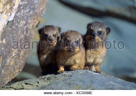 common rock hyrax, rock dassie (Procavia capensis), three juveniles contriving something - Stock Photo