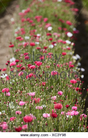 Row of pink and white flowers in field - Stock Photo
