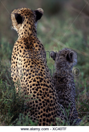 East African Cheetahs (Acinonyx jubatus raineyii), mother and cub sitting close together, rear view - Stock Photo
