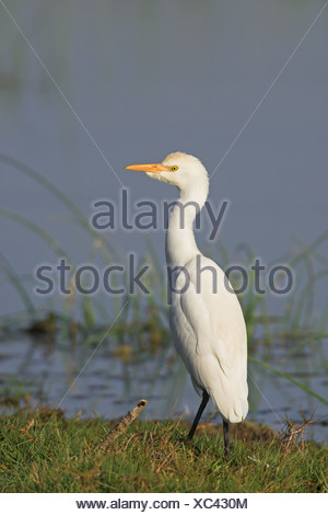 Cattle Egret (Bubulcus ibis) standing on the waterfront, side view - Stock Photo