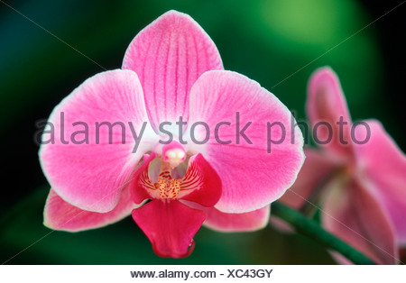 Orchid / Orchidee - Stock Photo