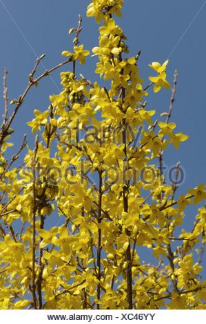 Winter forsythia Forsythia x intermedia flowers backlit - Stock Photo