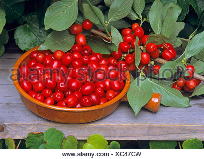 cornelian cherry wood (Cornus mas), berries in a bowl, Germany - Stock Photo