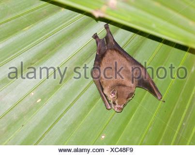 Tent making Bat sp Panama - Stock Photo