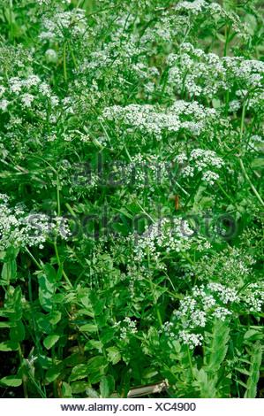 LESSER WATER-PARSNIP Berula erecta (Apiaceae) - Stock Photo