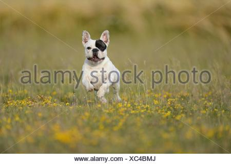 Seven month old French Bulldog running on a meadow - Stock Photo
