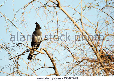 White-bellied Go-away-bird (Corythaixoides leucogaster) perched in bare tree, Samburu National Reserve, Kenya - Stock Photo