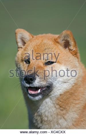 Shiba Inu female dog outdoors near Cochrane, Alberta, Canada - Stock Photo
