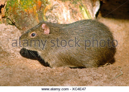 Cavy, Brazilian Guinea pig (Cavia aperea), on sandy ground - Stock Photo