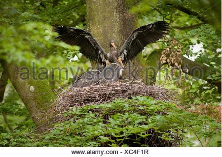 Black stork nest in eastern Belgium (hohes vehn). - Stock Photo