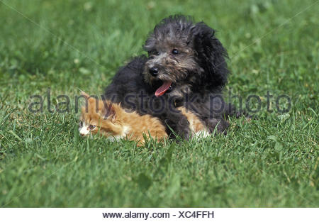 Grey Standard Poodle, Pup and Kitten laying on Grass - Stock Photo