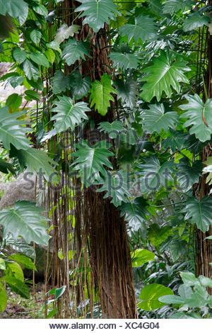 Philodendron lacerum (Philodendron lacerum), with creeps overgrown tree, Seychelles, Mahe - Stock Photo