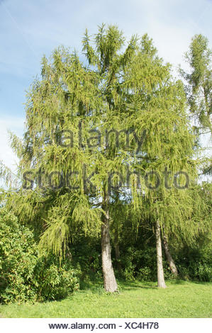 Larches - Stock Photo