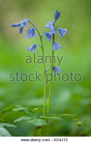 Spanish Bluebell (Hyacinthoides hispanica), blooming - Stock Photo