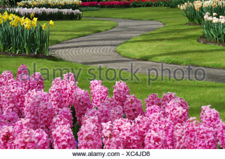 Jacinthe (Hyacinthus orientalis), park with flowerbeds, Netherlands, Keukenhof - Stock Photo