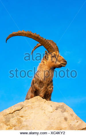 Alpine ibex (Capra ibex, Capra ibex ibex), in morning light on a rock in front of blue sky, Switzerland, Alpstein, Saentis Stock Photo