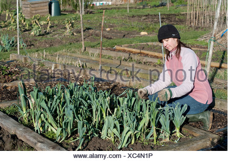 Young woman checking winter leeks & vegetables on allotment Kent UK - Stock Photo