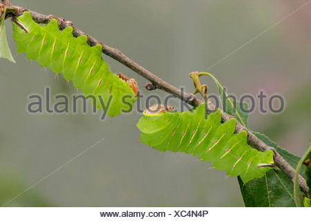 Two Polyphemus moth (Antheraea polyphemus) caterpillar on a branch - Stock Photo
