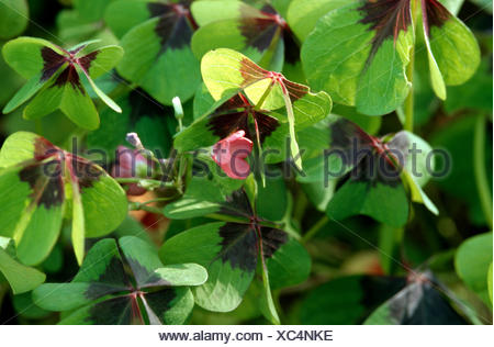 four-leafed clover (Oxalis tetraphylla, Oxalis deppei), habit - Stock Photo