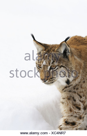 European lynx in winter, Bavarian Forest National Park, Germany - Stock Photo