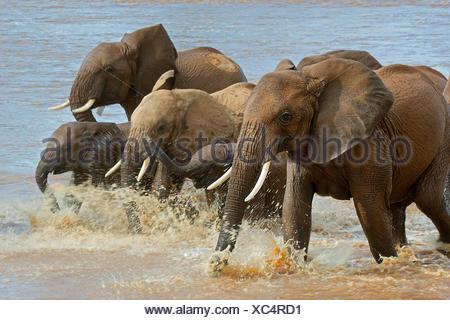 African elephant (Loxodonta africana), Elephants crossing the river Ewaso Ng'iro, Kenya, Samburu National Reserve - Stock Photo