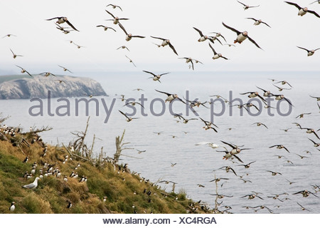 Atlantic puffins (Fratercula arctica) flying by nesting colony Gull Island, Witless Bay Ecological Reserve, Newfoundland, Canada - Stock Photo