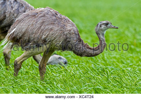 greater rhea (Rhea americana), male and female eating in a corn field, Germany, Mecklenburg - Stock Photo