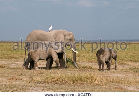 Female African Elephant and two offspring one around eight and the other about five years old in Amboseli National Park Kenya - Stock Photo