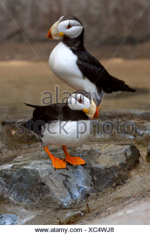 CAPTIVE pair of Horned Puffins in Summer mating plummage at the Seward Sealife Center in Alaska - Stock Photo