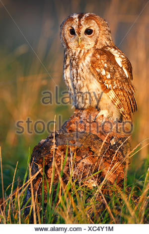 Eurasian tawny owl (Strix aluco), sitting on a tree snag in the evening light, Belgium - Stock Photo