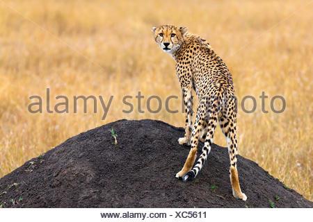 cheetah (Acinonyx jubatus), standing on a mound of earth and looking back toward camera , Kenya, Masai Mara National Park - Stock Photo